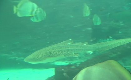 Leonie the leopard shark