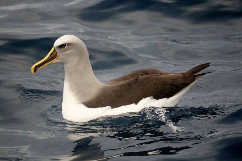 The near-threatened Buller's albatross which was found with marine debris in its gut.