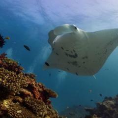 A reef manta ray at Lady Elliot Island. Photo: Amelia Armstrong.