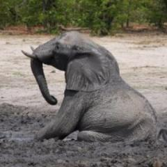 Research to keep captive elephants on their feet