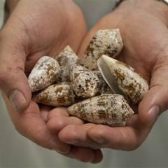 Pain drug in pipeline as researchers unwind marine snail puzzle