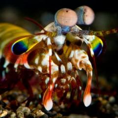 A mantis shrimp's compound eyes are 'superbly tuned' to detect polarised light. Image: Roy Caldwell